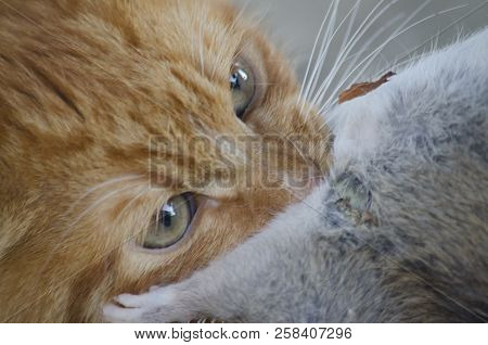 A red cat holds a gray rat in his teeth. Close-up portrait. stock photo
