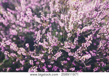 Flowering wild purple heather on upland meadow in Shropshire Hills, United Kingdom stock photo