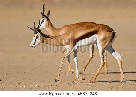 Springbok dans le kalahari