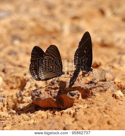 Common Indian Crow butterfly (Euploea core Lucus) on the ground stock photo