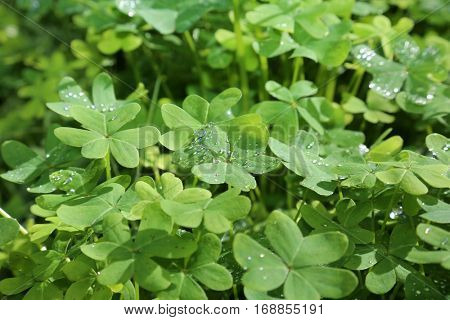 Beautiful green clover field sparkling with fresh rain water in the daytime sunshine outdoors. stock photo