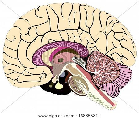 Median Section Of Human Brain Anatomical Structure Diagram Chart