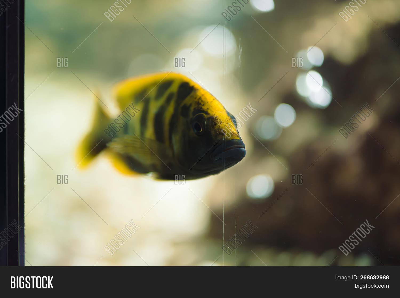 Nimbochromis,african,amazon,animal,aquarium,aquatic,background,black,breeding,cichlid,colorful,creature,decorate,environmental,fauna,fin,fish,floats,fresh,freshwater,gills,golden,hobby,hybrid,hybridization,lake,line,little,livingstoni,livingstonii,malawi,mbuna,morphs,mouthbrooder,nature,pet,picturesque,river,sea,shoal,small,stripe,sweet,swim,tail,tank,tropical,water,yellow,zebra