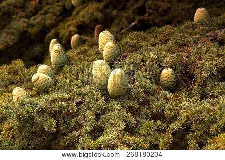 Cedar forest in Lebanon. Cones on the Lebanon Cedar. The Cedars of Lebanon. stock photo