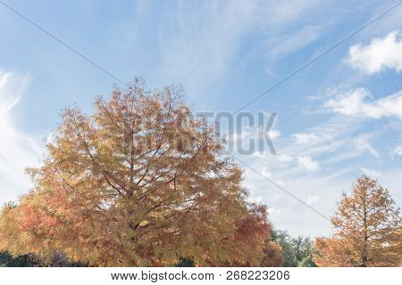 Vintage tone Bald Cypress (Taxodium distichum) tree with small round cones. Beautiful layered branches coppery-red color leaves during fall season with cloud blue sky near Dallas, Texas, USA stock photo