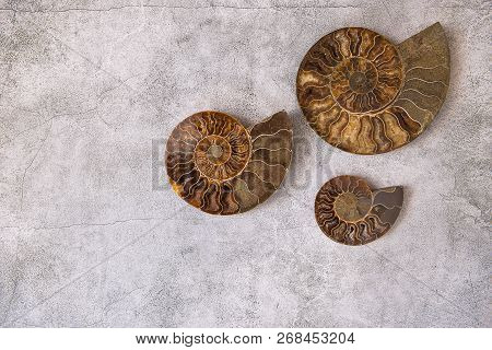 Three Ammonite different size, fossilized shell on gray background, natural fractal, copy space. Fossil, decorative stones, miracles of nature theme. stock photo