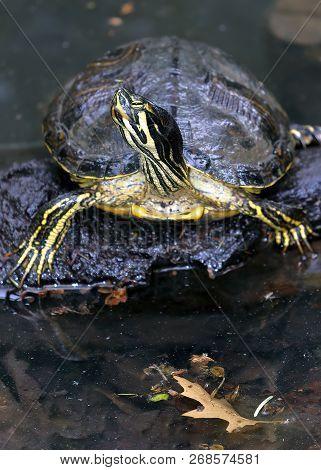 American marsh turtle, or common slipper Trachemys scripta tortoise belonging to the family of hemidides stock photo