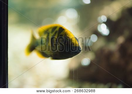 Nimbochromis livingstonii fish of yellow color with black stripe floats in aquarium. Cichlids, mbuna in fish tank. stock photo