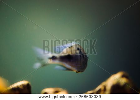 Sciaenochromis Fryeri fish of blue color with black spots floats in aquarium. Mbuna in fish tank. Cichlids. stock photo