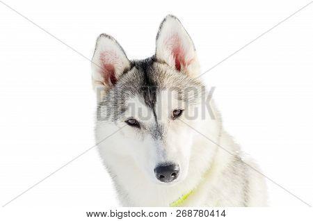 Picnetz One Siberian Husky Dog Close Up Husky Breed Portrait