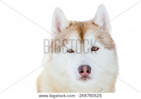 One Siberian Husky Dog With Blue Eyes Close Up Husky Breed