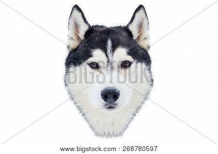Safety Stock - One Siberian Husky Dog Face  Close Up Husky