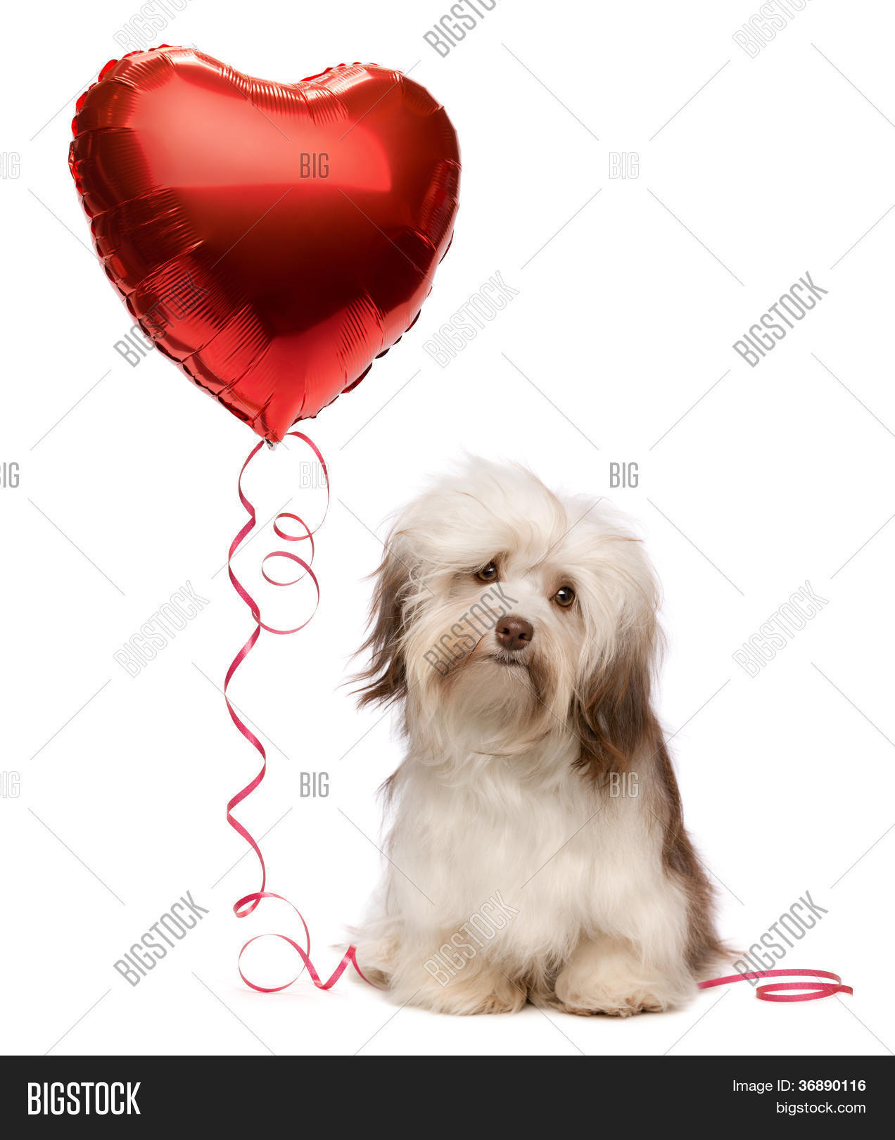 adorable,animal,attractive,await,balloon,beautiful,bichon,brown,chocolate,cute,day,dog,dreamer,female,friend,funny,hanker,havanais,havanese,heart,hold,holiday,honeymoon,indoors,keep,longhair,love,lovely,lover,lovesick,mammal,mini,pedigree,pet,playful,portrait,puppy,purebred,red,romantic,sitting,soft,studio,sweet,valentine,white,wooer,young
