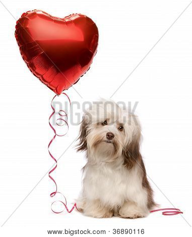 A lover chocolate valentine havanese dog with a red heart balloon isolated on white background stock photo