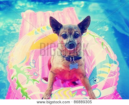 A cute chihuahua mix sitting in a blow up tube in a pool during summer toned with a retro vintage in