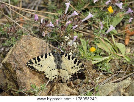 Eastern Festoon Butterfly - Allancastria (Zerynthia) cerisyi Endemic ssp. cypria on Endemic Cyprus Tyne - Thymus integer stock photo