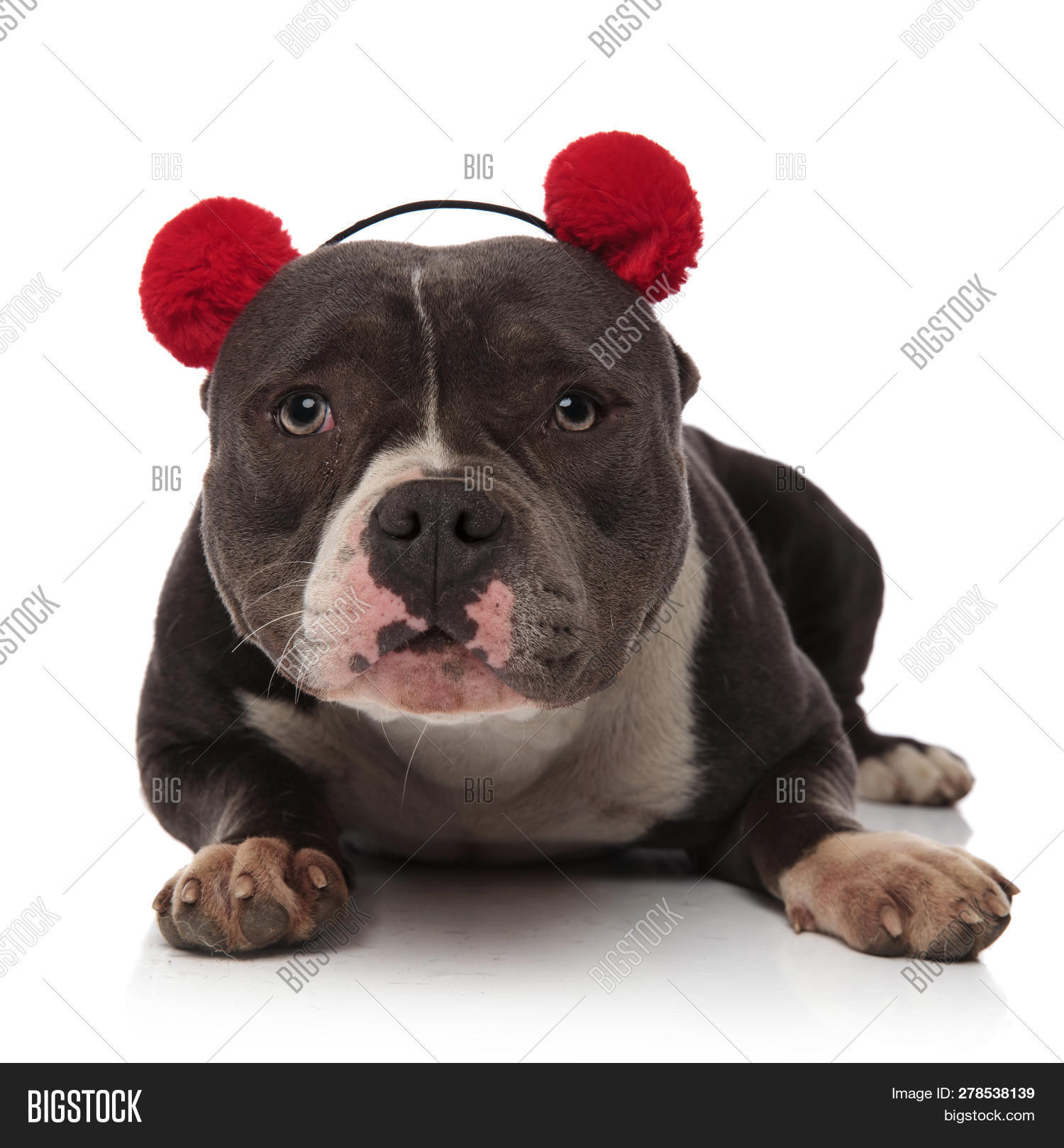 adorable american bully wearing fluffy red earmuffs lying on white background