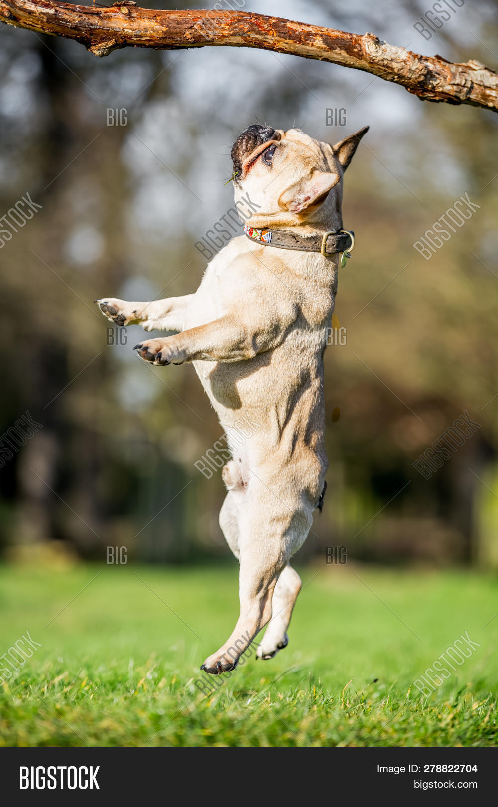A Sandy French Bulldog Jumping Towards A Large Branch Over A