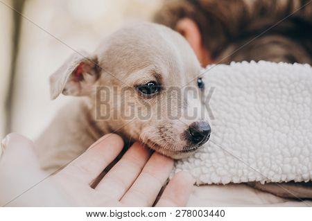 🔥 Cute Little Staff Terrier Puppy In Cozy Warm Blanket In