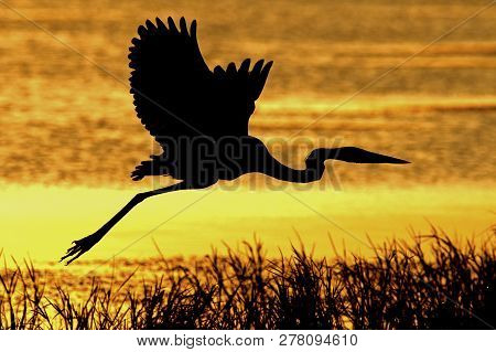 A Great Blue Heron flies along a lake shore at sunset in central Florida stock photo