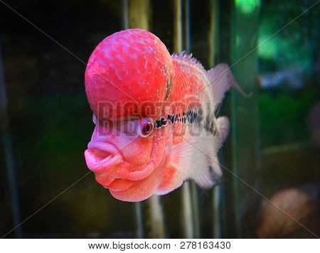 crossbreed cichlid fish / colorful red crossbreed cichlid pet fish male beautiful fish louhan  Cichlidae -flowerhorn swimming fish tank underwater aquarium stock photo