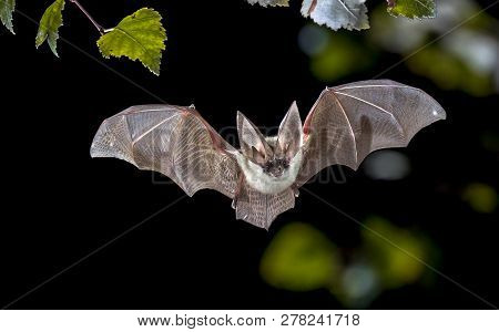 Flying Bat Hunting In Forest. The Grey Long-eared Bat (plecotus Austriacus) Is A Fairly Large Europe