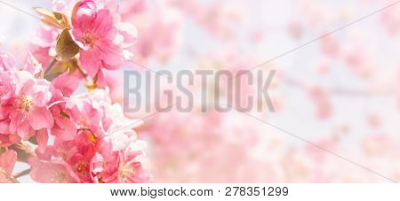 Flowering Of The Apple Tree. Spring Background Of Blooming Flowers. White And Pink Flowers. Beautifu