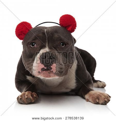adorable american bully wearing fluffy red earmuffs lying on white background stock photo