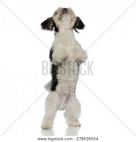 curious black and white shih tzu standing on back legs on white background looks up stock photo