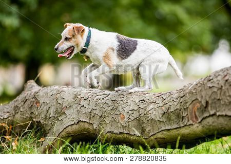 An older Jack Russell Terrier jumping over a log in the woods. Wearing a collar with a metal bone pendant. from the side. stock photo