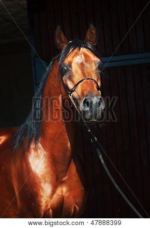 Portrait Of Bay Arabian Stallion-Lg Fridge Magnet Skin (size 36x65)