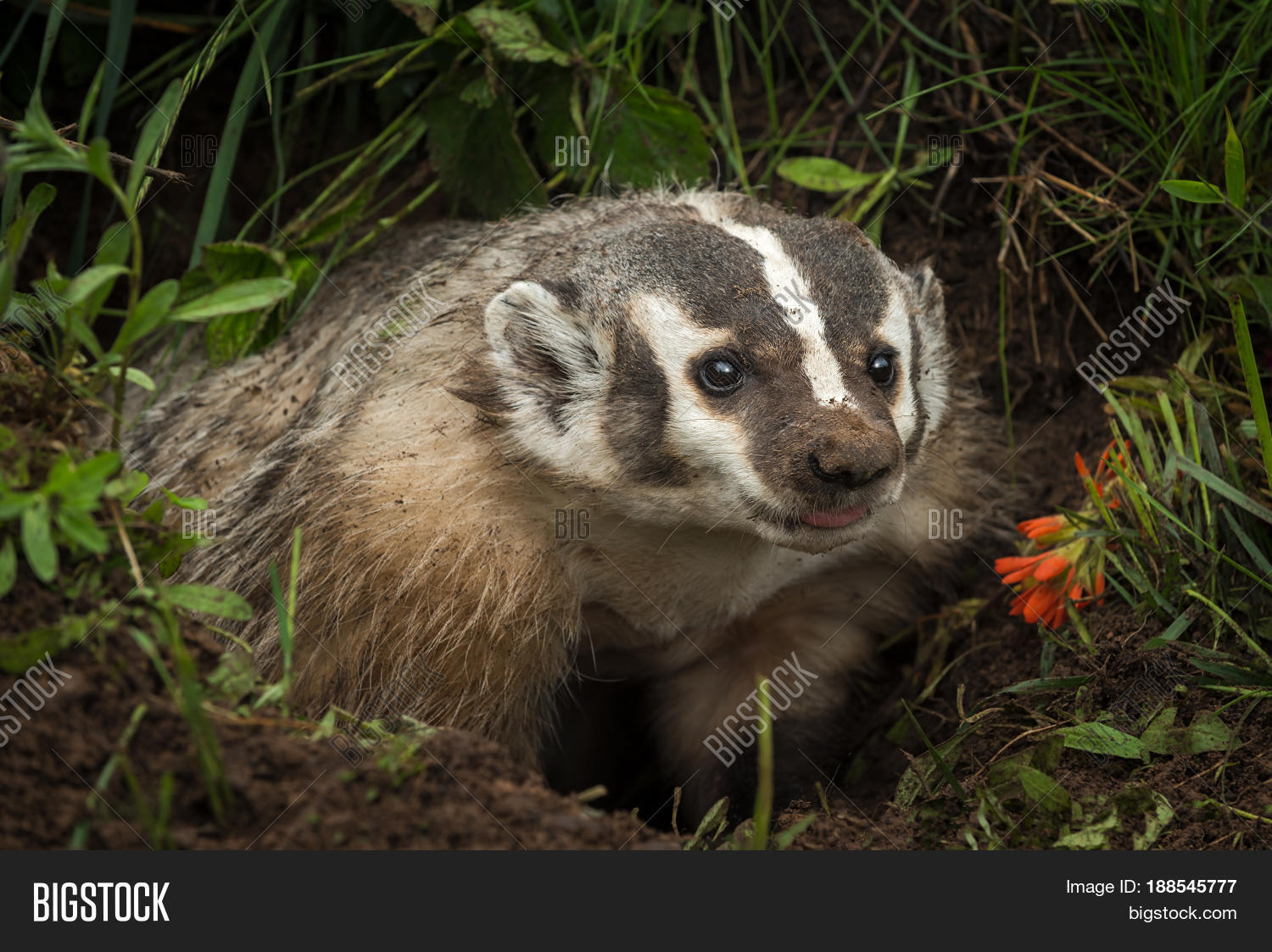 american,animal,badger,creature,critter,den,densite,horizontal,mammal,mustelidae,natural,nature,north,outdoors,summer,taxidea,taxidiinae,taxus,tongue,wildlife