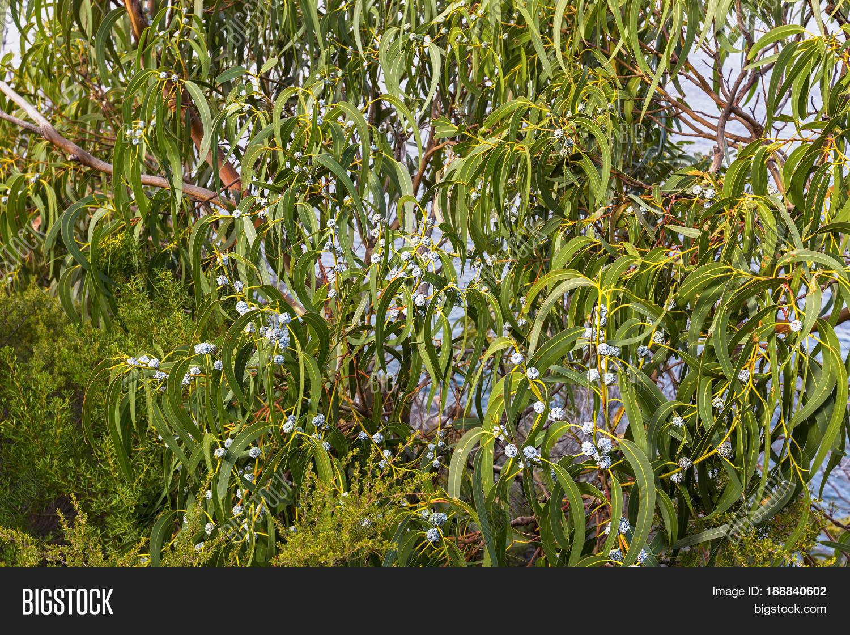 Long Green Leaves And Gum Seeds Flower Bud Of Tasmanian Blue Gum