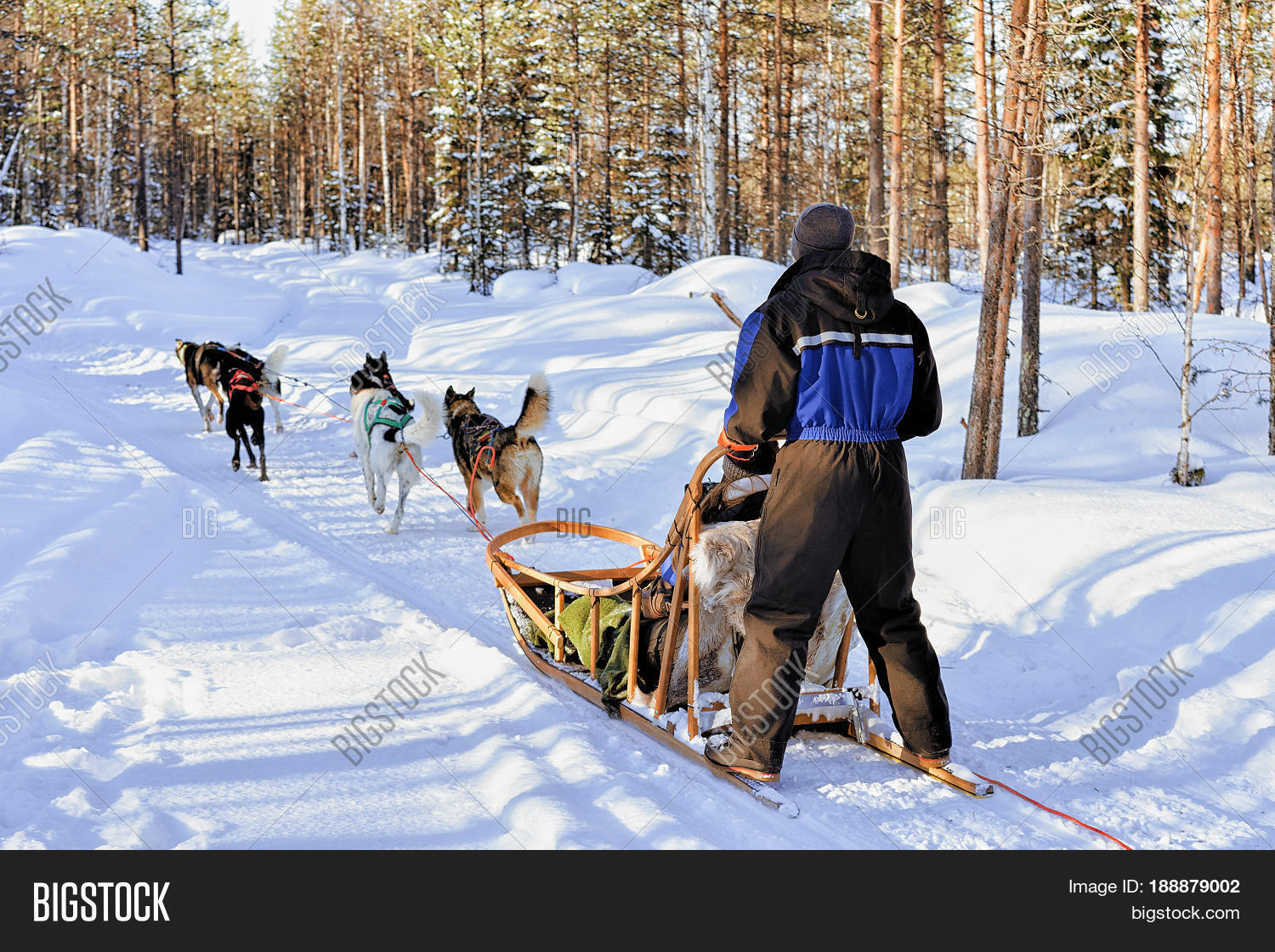 Man riding husky dogs sledge in winter snowy forest in Rovaniemi Lapland Finland
