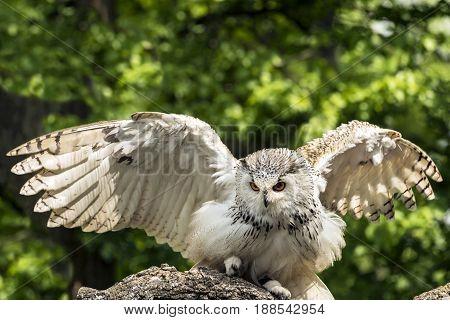 The Eurasian eagle-owl (Bubo bubo) start to fly. Owl also called European eagle-owl stock photo