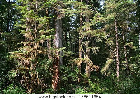 Canadian Rainforest in Pacific Rim National Park near Tofino BC Canada stock photo