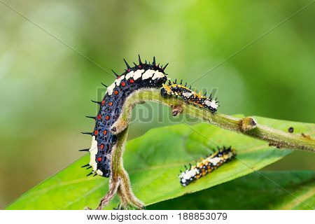 Close up of Common Mime (Papilio clytia) caterpillars on its host plant stock photo