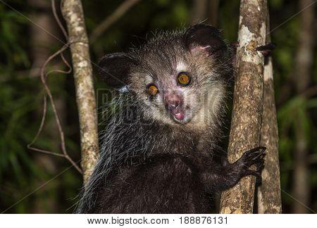 Aye-aye very rare nocturnal lemur of Madagascar stock photo