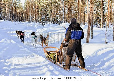 Man riding husky dogs sledge in winter snowy forest in Rovaniemi Lapland Finland stock photo