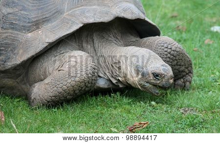The Galápagos tortoise or Galápagos giant tortoise (Chelonoidis nigra) is the largest living species of tortoise and 13th-heaviest living reptile in the world The tortoise is native to Galápagos Islands west of the Ecuadorian mainland. stock photo