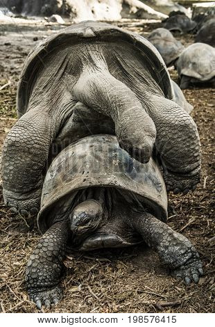 Two wild Aldabra giant tortoises of the Seychelles (Aldabrachelys gigantea or Geochelone gigantea) mating. La Digue, Seychelles stock photo