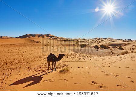 Camel caravan going through the sand dunes in the Sahara Desert Morocco. stock photo