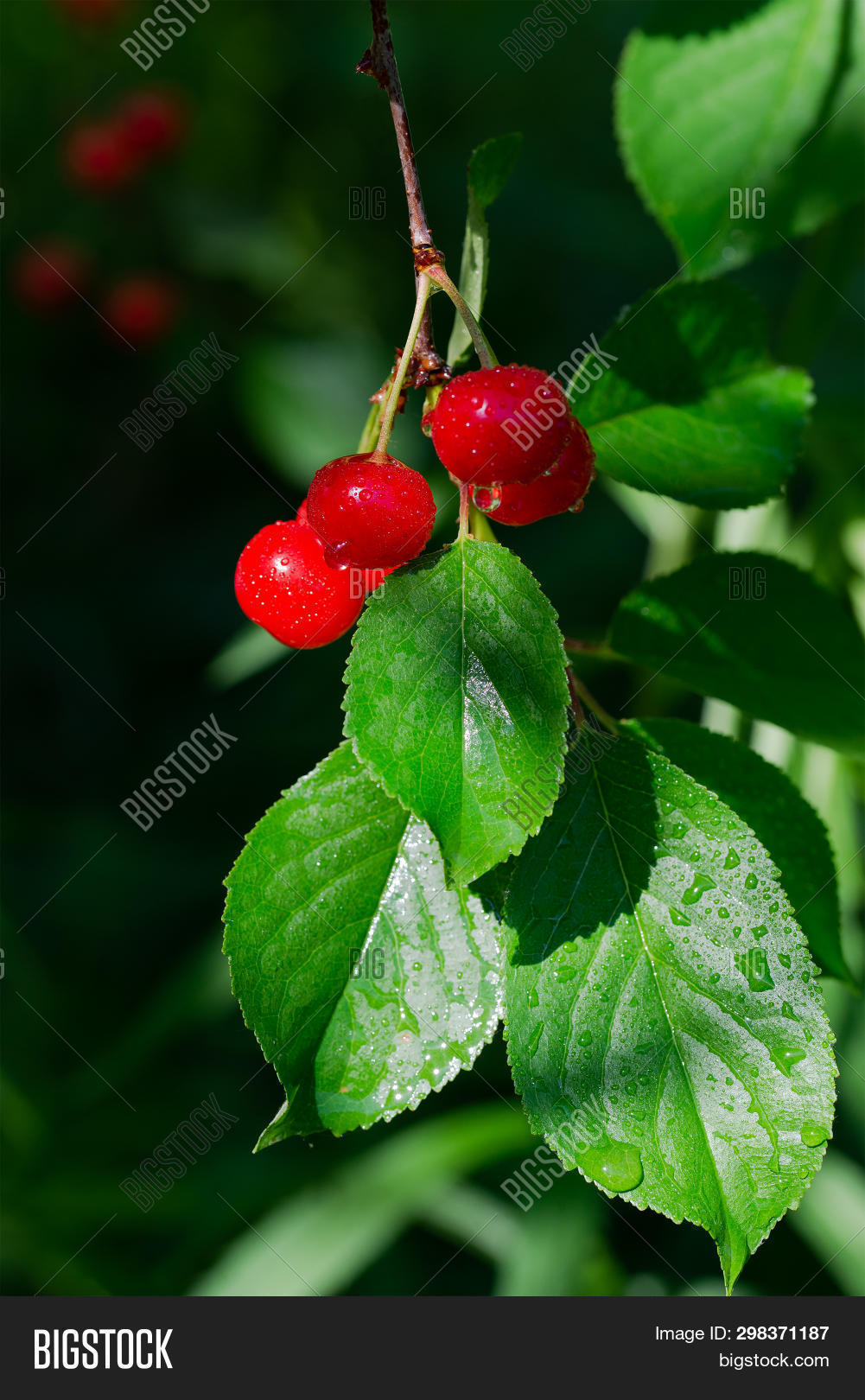 agriculture,appetizing,background,beam,berry,botanical,branch,bright,bunch,cherry,closeup,crimson,crop,delicious,flora,foliage,food,fresh,fruit,garden,gardening,green,hanging,harvest,harvesting,juicy,leaf,leaves,light,natural,nature,nutrition,organic,ray,red,ripe,round,season,shiny,summer,sunlight,sweet,tree,useful,vitamin,water