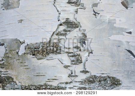 The macro shot of birch bark texture or background stock photo