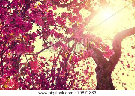 Spring Nature background blooming tree over sunny sky. Spring Blossom. Apple Flowers. Sun flare. Vin
