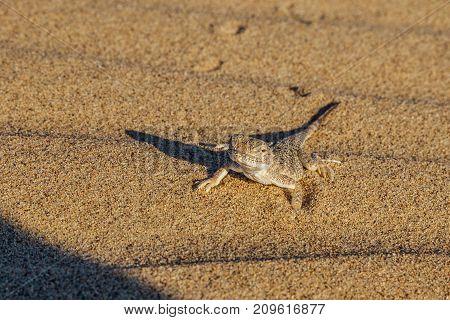 Desert sand gecko in the desert of Kazakhstan. Close up view stock photo