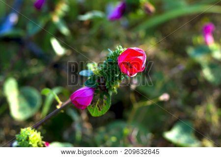 Pavonia rigida (Wall. ex Mast.) Hochr. Malvaceae. flower with green bacground at Mukdahan Nation Park Thailand. stock photo