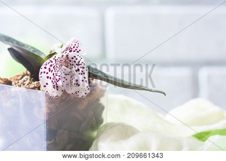 Orchid species Paphiopedilum or Venus lady shoes flower factory. Macro selective focus stock photo