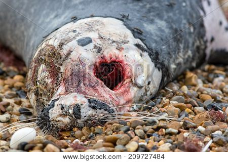 Dead grey seal. Horrific zombie looking face of animal with bloody eye socket. Disgusting decayed rotten flesh of marine creature carcass. Gruesome halloween image.