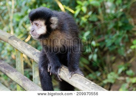 Tufted capuchin monkey on the nature in Pantanal Brazil. Brazilian wildlife. Sapajus apella stock photo